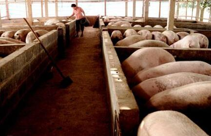 未来养猪场的9种死法,最后一种太心酸无奈!