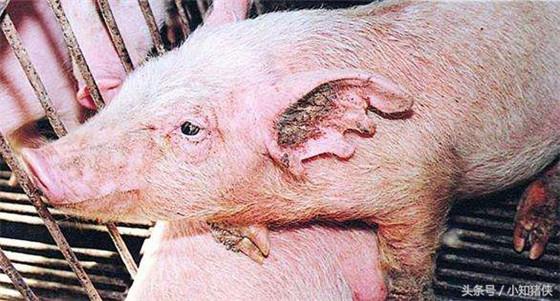 很多养猪户肯定没想到,锅底灰竟能治疗这些猪病