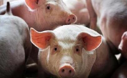 """后备钱柜娱乐777官网的培育与驯化饲养管理 ——第9期""""福州大北农•猪兜大场长""""直播节目预告"""