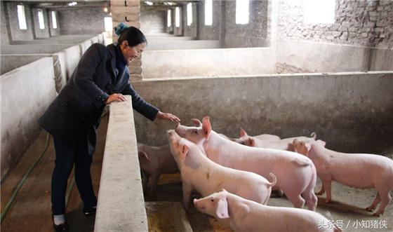 保持圈舍的干燥也很重要:猪是比较害怕既阴冷又潮湿的,特别是产房和保育,最好能准备一些干粉消毒剂,既消毒了,又能起干燥作用,一举两得。