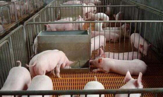 补充能量:冬季应及时调整饲料配方,适度提高能量水平,如在饲料中增加一定比例的脂肪粉或者植物油,并适量添加具有抗应激、抗氧化能力的复合维生素、复合酶制剂等,可以适当增加猪体的抗寒能力。