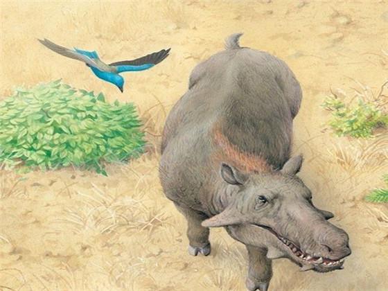 牙齿。它们的前肢虽然有力,但蹄子不适合用来扑倒或捉住猎物。从头骨看,古巨猪能在身体两侧形成宽广的视野,视线却无法重叠,不能在前进方向形成完整视野,有利于防御而不是捕食。另外,它们巨大的牙齿也有可能是为了适应干旱地区粗硬植物而发生的特化。