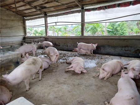 一个养猪人对养猪事业的告白