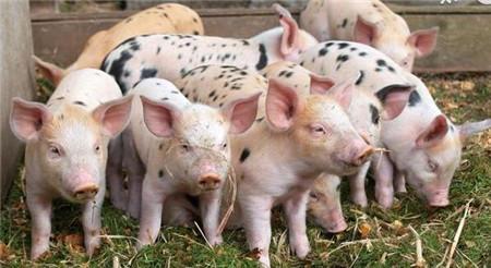 现代实用科学养猪——怎么养育肥猪长的快