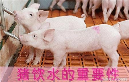 哺乳仔猪到底要不要额外给水喝?农村养猪的朋友们值得一看!