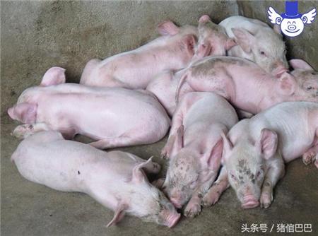 猪流涎可能是病,这四种原因都有可能导致!