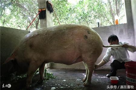 谈养猪:论猪洗澡的重要性,教你如何给猪做清洗消毒!