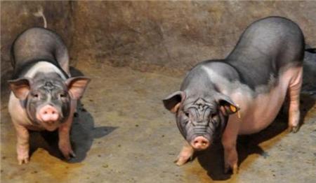 猪的抵抗力一但提高,你养猪就更顺风顺水,还能防病多长肉