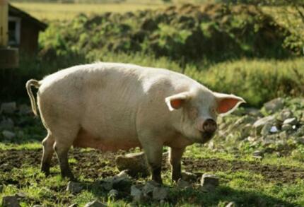 东北地区猪价连涨两周!月内猪价要大涨?