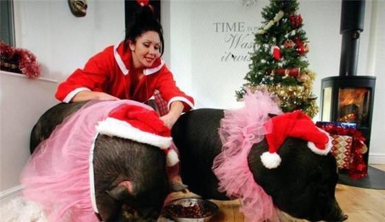 美国的一名女子,就花高价购买了两只店家口中的迷你猪,但是女子在饲养时发现两头猪并不迷你,体重长得飞快,不到2年,两只猪的体重都超过了300斤。