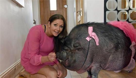 女子时常给两头猪打扮得美美的,给它们戴花穿裙子。