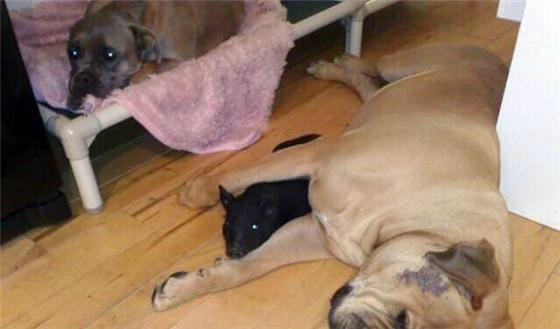 女子家里养的两条狗,待遇都没有猪那么好。图为狗狗有猪小时候的合照。