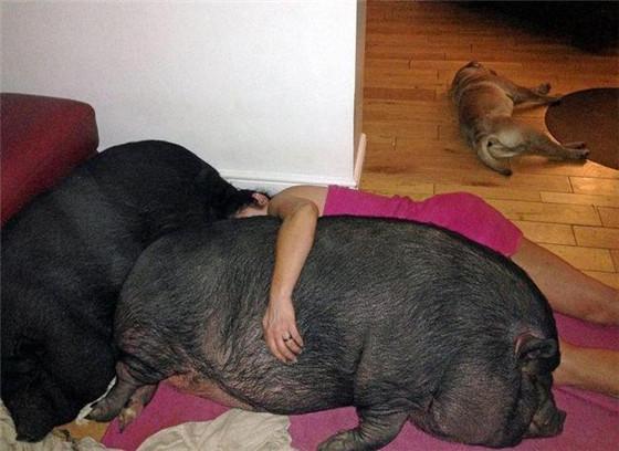 即使是睡觉的时候,女子也会抱着两头猪一起睡。