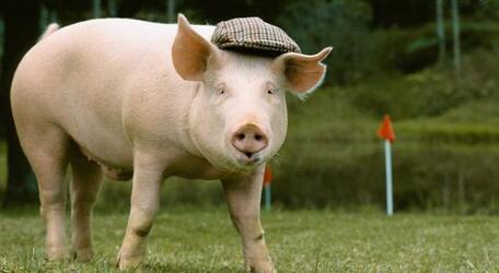 农业部答疑:现在猪怎么长到6个月就出栏……
