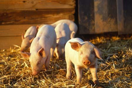 生猪供应稳定 供应趋紧的情况不会太严重
