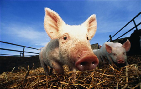 养猪有前途吗?能赚钱吗?