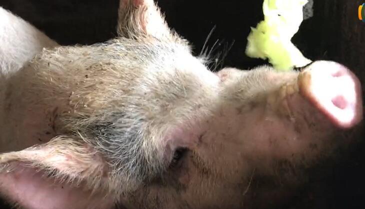 农村喂熟食的土猪 竟然喜欢生料
