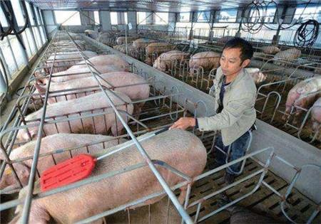 大养猪场就一定正规吗?农村小规模养猪场不服!