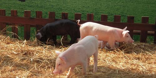 关注仔猪肠道健康,解决方案来了?养殖户收好!