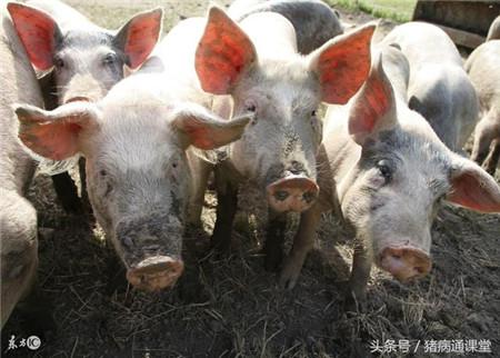 猪回肠炎的临床症状有哪些?