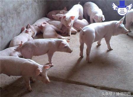 猪消化不良了怎么办?常见的酵母片就可以解决问题!