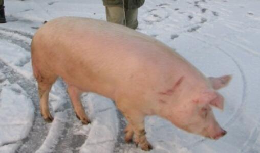 14.3元/公斤会是生猪价格的终点吗?