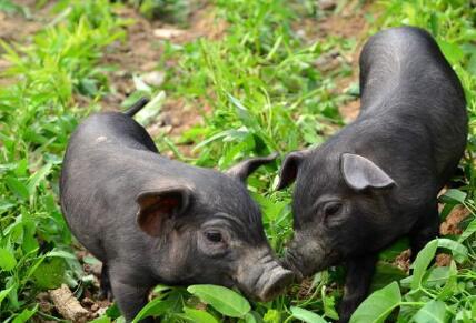 养殖户扎心发问:2017年养猪会一苦到年底吗?