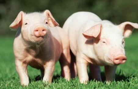 或许你不知道,养猪真正决定赚钱并非猪价,而是这个