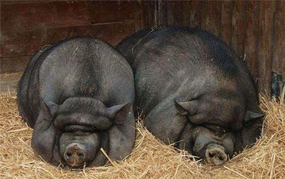 搞笑瞬间:最丑、最萌的猪!