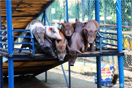 见过猪跑,你见过会跳水的猪吗