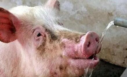 市场供需僵持局面延续 猪价北稳南跌,降温来袭