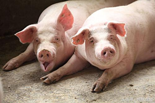 养猪在饲料中放什么好?农民养猪大蒜和橘子皮的妙用