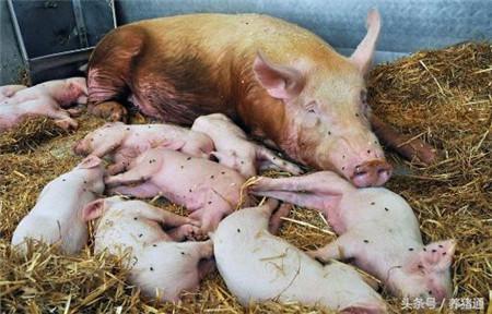 产房母猪拒哺和咬仔猪?老兽医教你一招搞定它