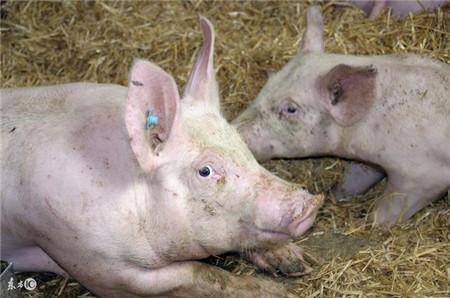 猪咳喘流行新特点,不变治疗思路,自然久治不愈!
