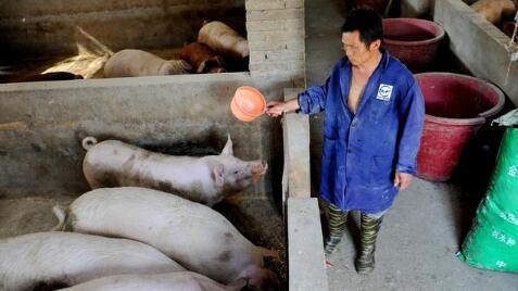 冬至、元旦和春节前猪价为何充满不确定性?