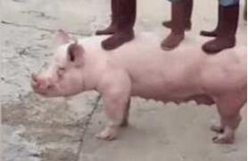 养殖场中的大力猪,别人出20万老板都不肯卖