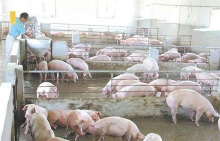 只要养猪的你愿意做一个改变,一批猪就能多赚几万元很简单