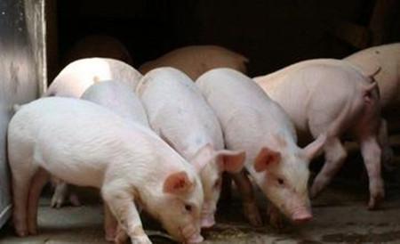 四招提高养猪效益、降低成本,夫妻养猪场管理成本最低