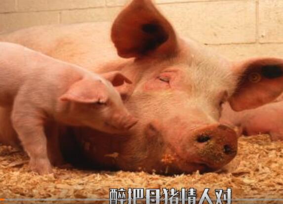 《一人饮酒醉》养猪版