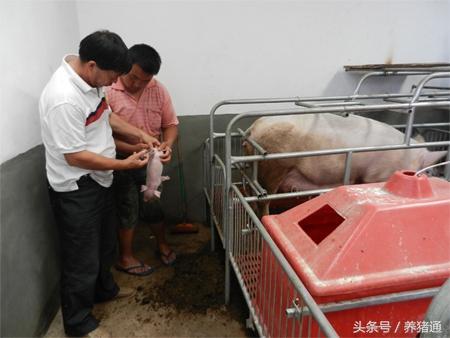 猪场停电不要怕,一个小妙招搞定小猪保温!