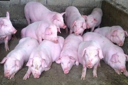 目前的生猪养殖,病害种类日趋复杂。比如:仔猪黄白痢、猪瘟、猪流感、猪链球菌、猪口蹄疫、猪丹毒、猪传染性胃肠炎、仔猪副伤寒等等频见各大养猪场。