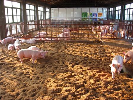 冬季寒冷时期仔猪饲养要点,养殖猪仔应认真做好这几点