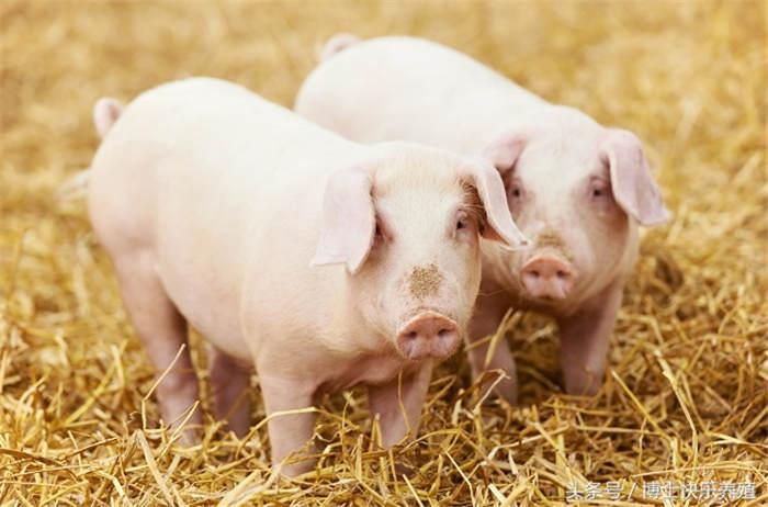 育肥增重小妙招,养殖户如何科学运用让猪日长三斤?