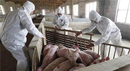 育肥猪管理的技术要点,做好这几点猪场育肥高枕无忧