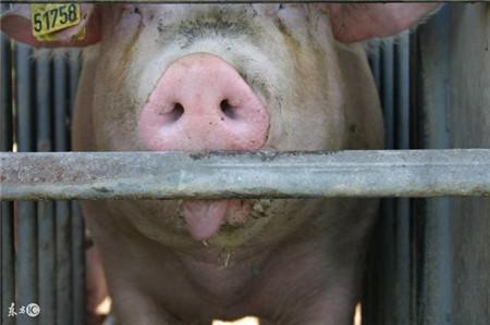 如何准确掌握母猪发情规律呢?本文揭晓