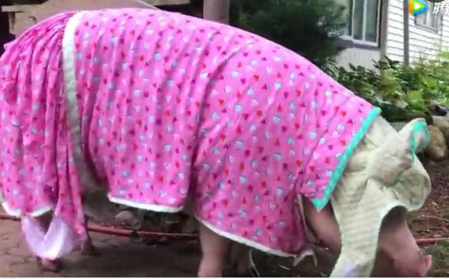 这母猪穿得比我都好看,难道做新娘啦