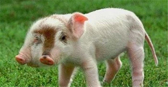 双头猪因头太重而无法站立!