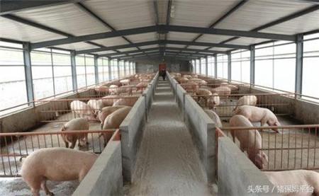冬季养猪,不要因为保温而忘记了通风