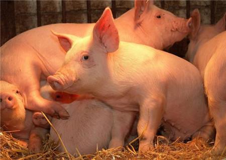 猪场管理之热环境和粉尘对猪场的影响及其控制