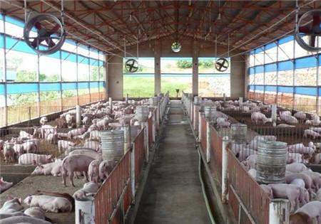 大猪场猪舍环境控制,值得我们小猪场学习